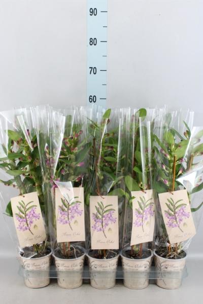 <h4>Dendrobium ...</h4>
