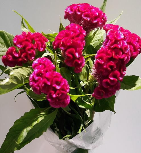 <h4>Celosia Cristata Purple (p/bunch)</h4>