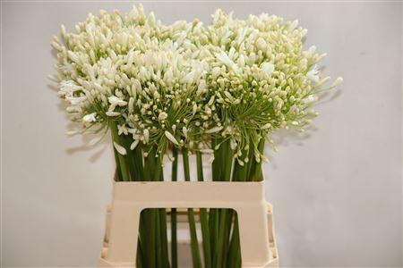 <h4>Agapanthus FU 'White Heaven'</h4>