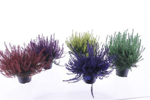 <h4>Calluna vulg. painted mix</h4>