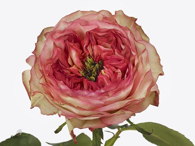 Rosa large flowered Star Trek