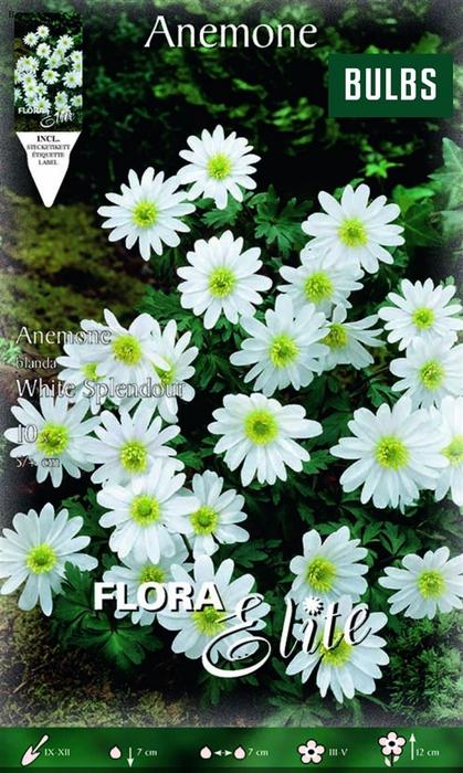 <h4>Z Anemone White Splendour</h4>