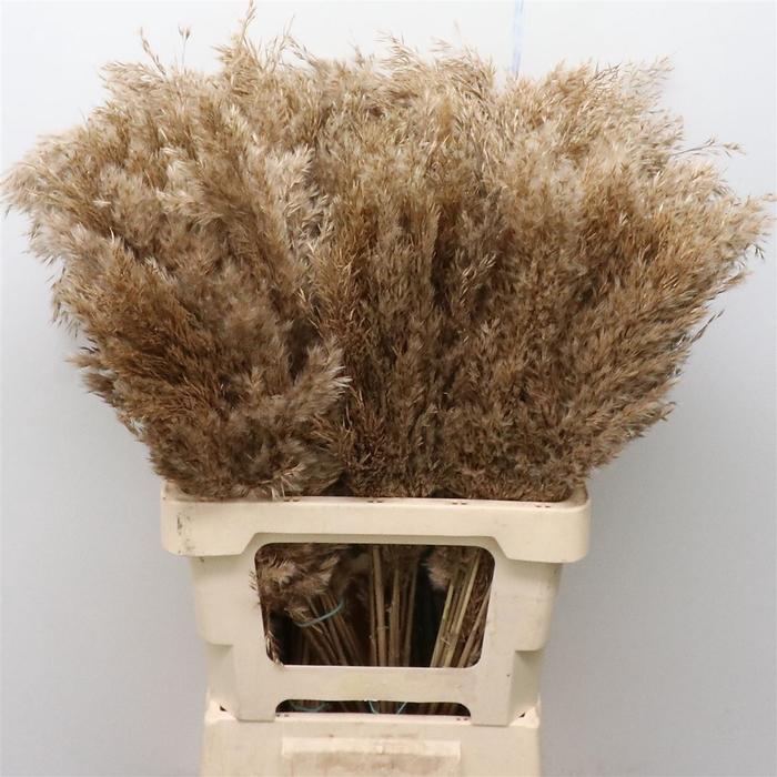 <h4>Cortaderia Dried Short Fluffy</h4>