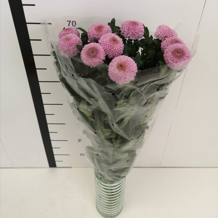 Chrysanthemum monoflor momoko pink (Boris)