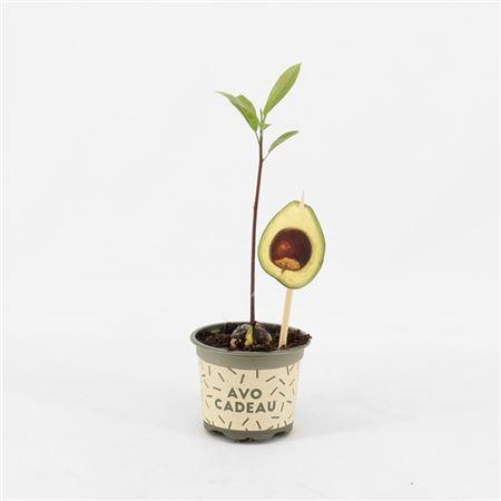 <h4>Avocadoplant</h4>