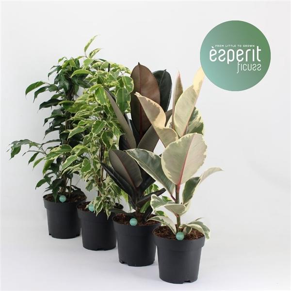 <h4>Ficus mix</h4>