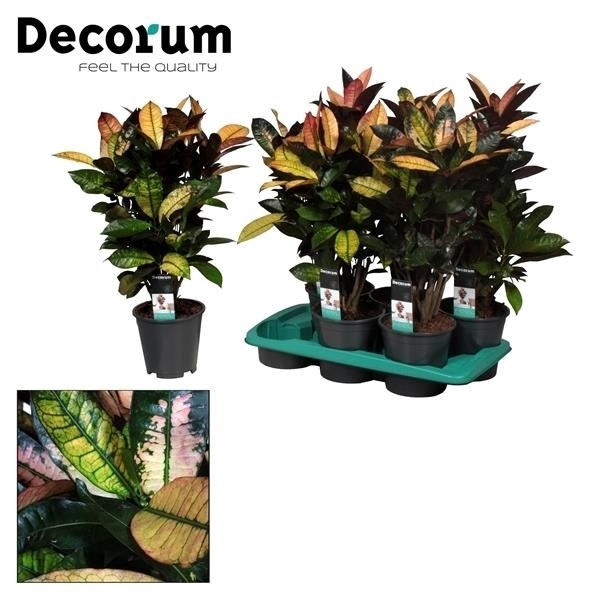 <h4>Croton Mrs. Iceton vertakt (Decorum)</h4>
