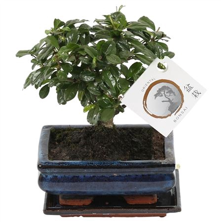 <h4>Bonsai 'carmona Macr.' In Ø15cm Ceramic Ball Shape</h4>