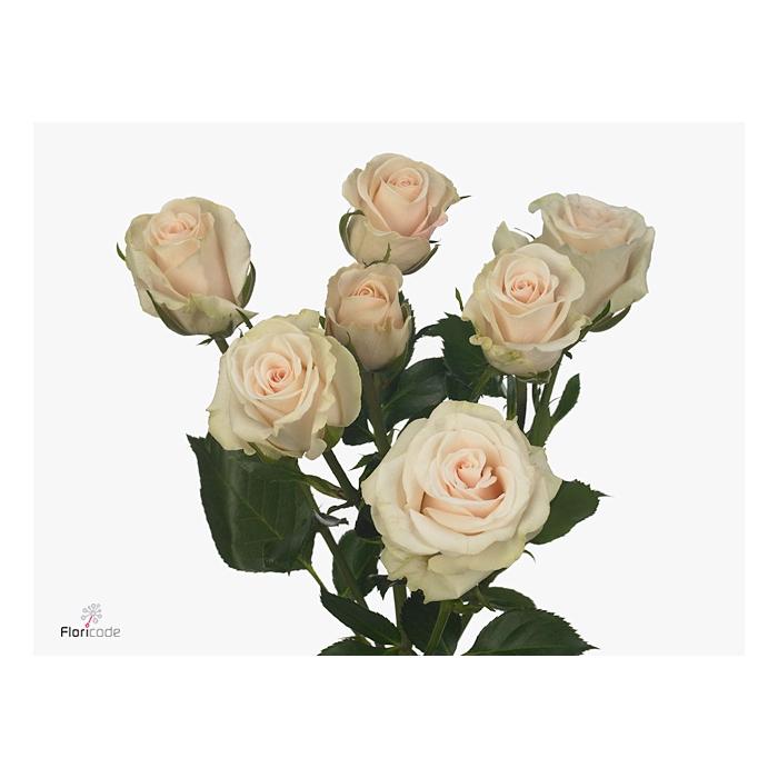 <h4>Rosa spray Royal Porcelina</h4>
