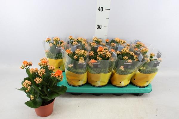 <h4>Kalanchoe blos. 'Sumo Orange'</h4>