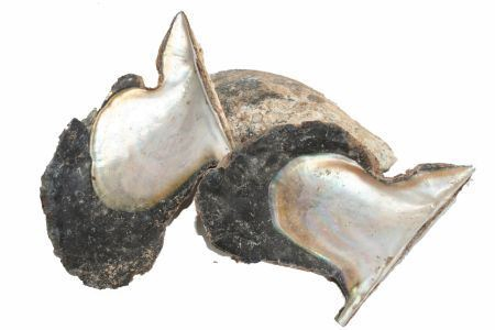 <h4>Shell Oyster Wing Pinguin W13-22</h4>