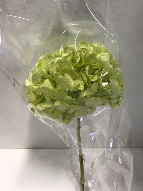 <h4>Hydrangea / Hortensia d15cm past.groen</h4>
