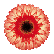 <h4>Gerbera take two</h4>