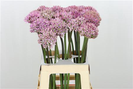<h4>Allium Pink Jewel</h4>