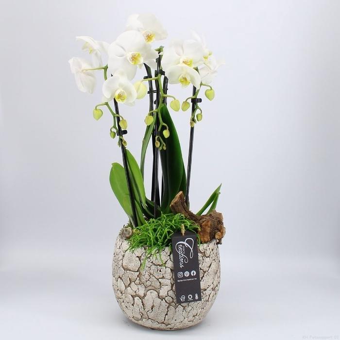 <h4>Arr.  Phalaenopsis H%</h4>