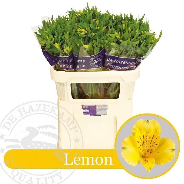 <h4>Alstr Lemon</h4>