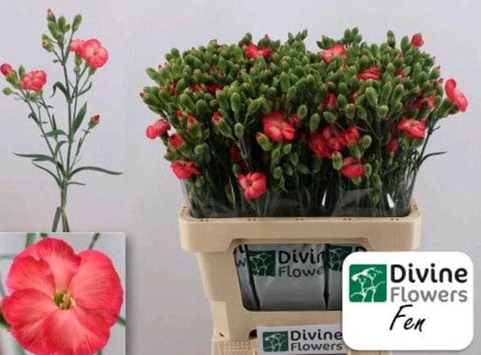 <h4>Dianthus Solomio Fen</h4>