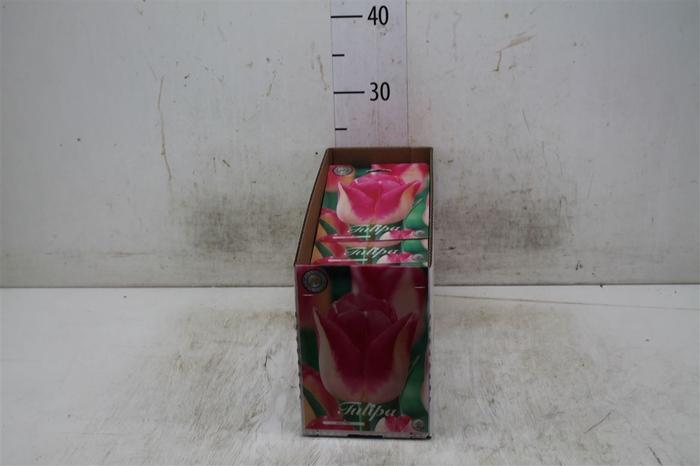 <h4>Bol Tulp Alectic 10 Zakjes X10</h4>
