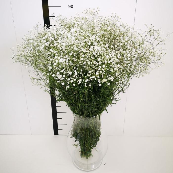 <h4>Gypsophila mirabella (ALGUNA FLOR MARRON)</h4>