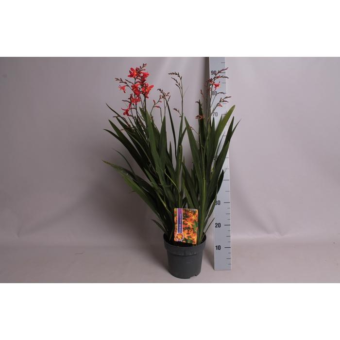 <h4>vaste planten 19 cm  Crocosmia Carmine Briljant  Karmijnrood</h4>