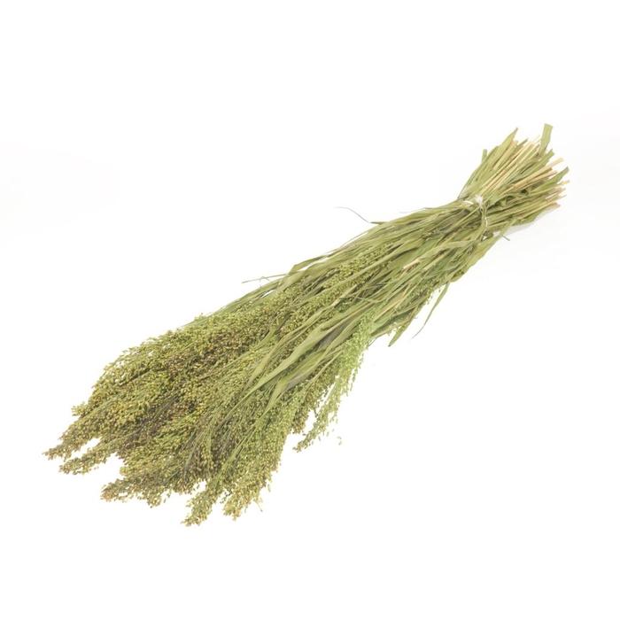 <h4>Panicum nat.green</h4>