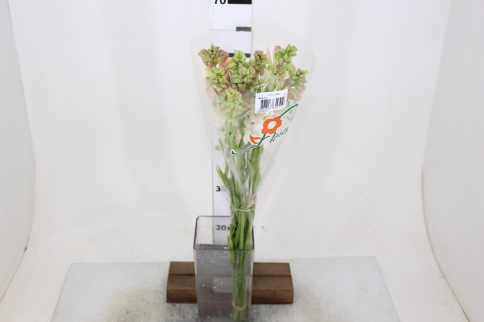 <h4>ANGELICA 070 CM</h4>