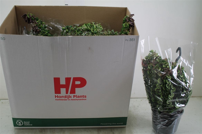 <h4>Aeschynanthus Twister Hang</h4>