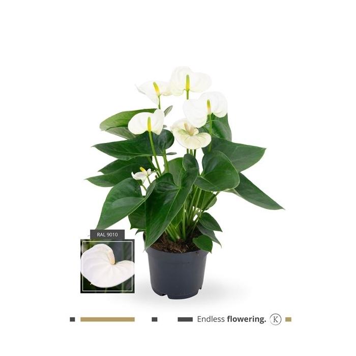 <h4>Anthurium Andr. Karma White</h4>