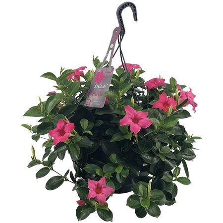 <h4>Mandevilla Sundaville Classic Pink Hangpot (diplad</h4>