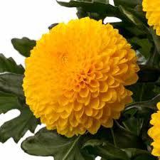 Chrysanthemum monoflor paladov amarillo
