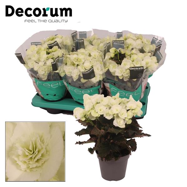 <h4>Begonia ''joy white'' 13cm Decorum</h4>