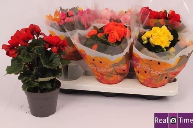 <h4>Begonia Elatior gemengd</h4>