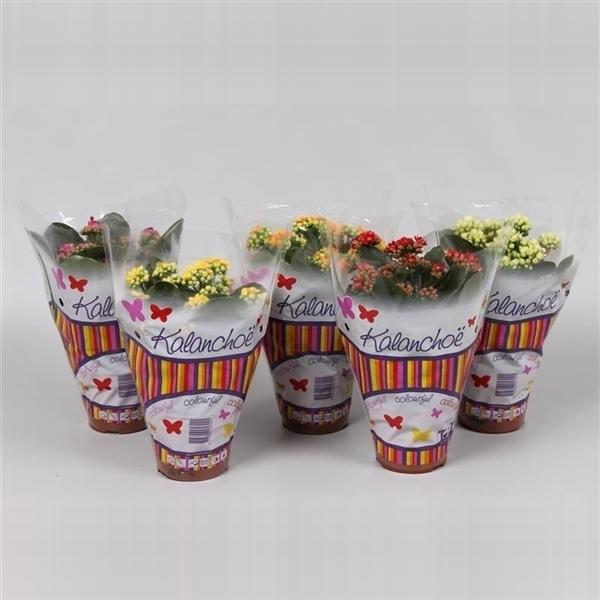 <h4>Calandiva mix vlinderhoes</h4>