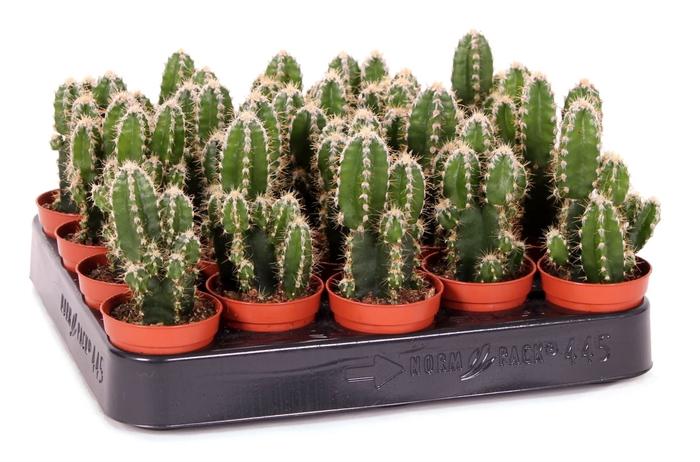<h4>Cereus peruvianus Florida</h4>