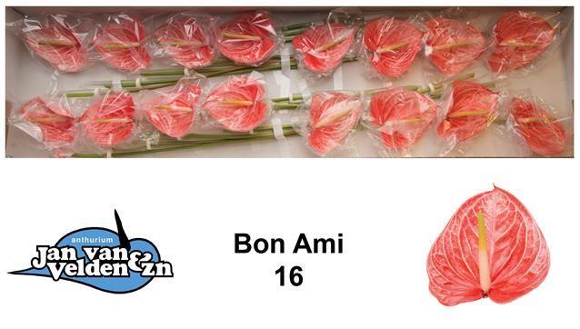 <h4>Anth Boni Ami</h4>