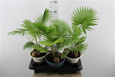 <h4>Livistona Rotundifolia Ceramic</h4>