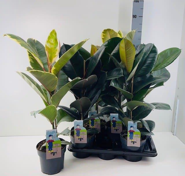 <h4>Ficus Elastica mix 17Ø 70cm</h4>