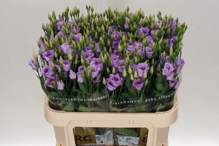 <h4>Eustoma E Picco Lavender</h4>