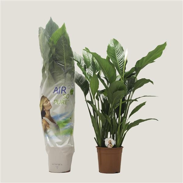 <h4>Spathiphyllum 'Sweet Sebastiano' ASP</h4>