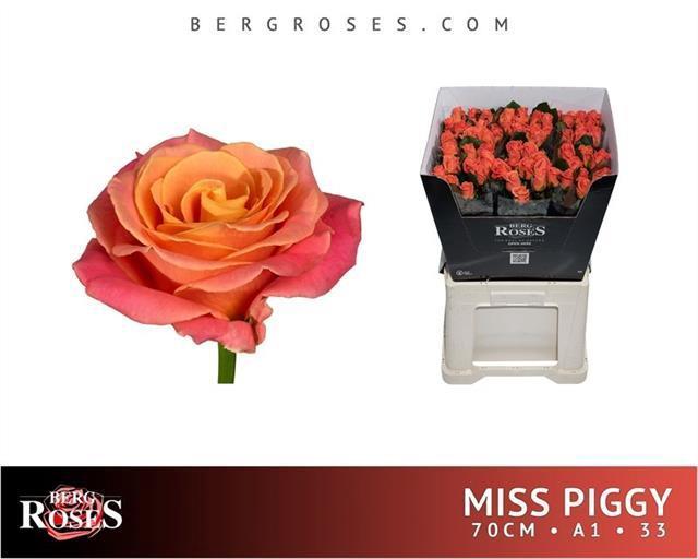 <h4>R GR MISS PIGGY+</h4>