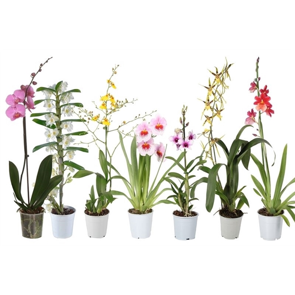 <h4>Orchidee mix 1t + phal</h4>