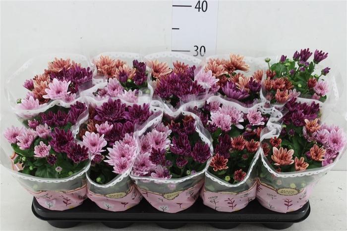<h4>Chrysanth Carnaval Aubisque</h4>
