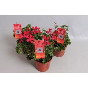 Pelargonium Calliope Cascade Red