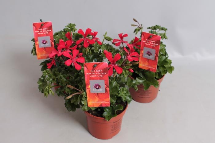 <h4>Pelargonium Calliope Cascade Red</h4>