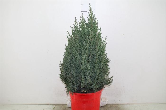 <h4>Juniperus Ch Stricta Rode Pot</h4>