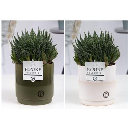 <h4>Aloe Aristata In Julia Groen/wit Keramiek</h4>