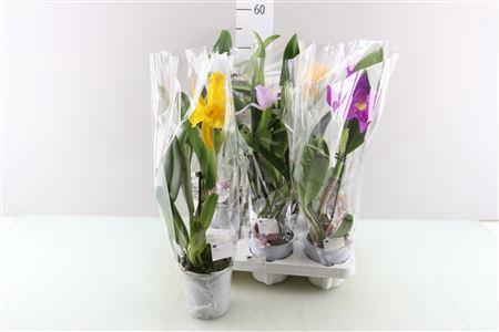 <h4>Cattleya Gemengd 1 Tak</h4>