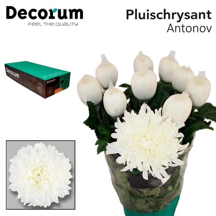 <h4>Chrysanthemum PL 'Antonov'</h4>