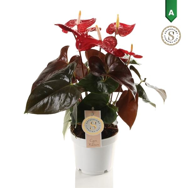 <h4>Anthurium Coral Champion</h4>