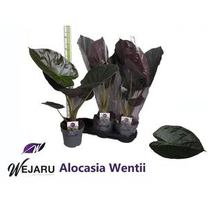 ALOC WENTII